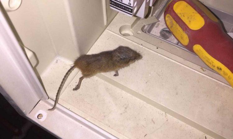 Ratte im Zählerschrank